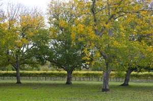 Walnut Orchard and Vineyards, Abbey of New Clairvaux (11/5/09)