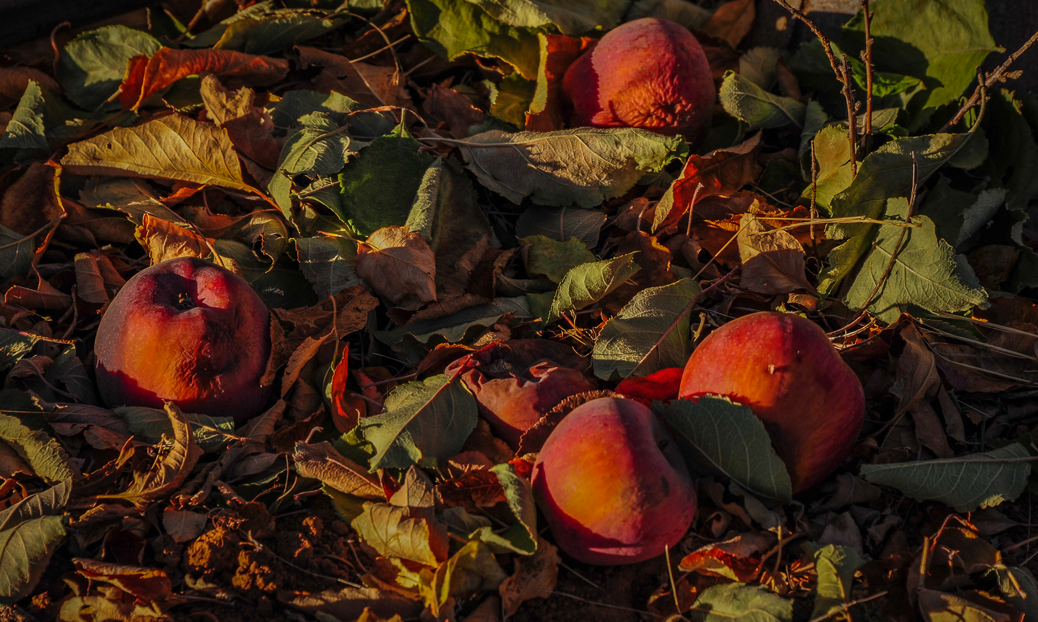 Apple Hill Ripe For Picking California Fall Color