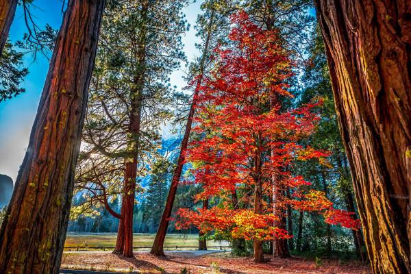 Sugar Maple, Yosemite Valley (10/13/15) Elliot McGucken